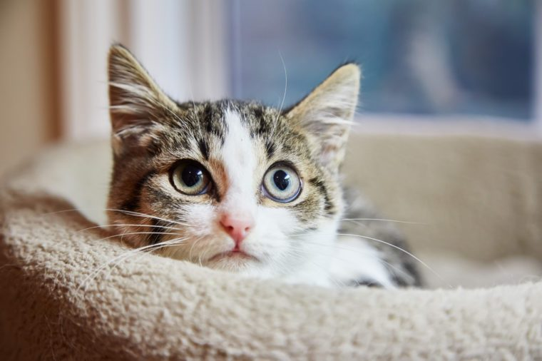 Brown and white tabby kitten sitting in a cat bed and looks scared