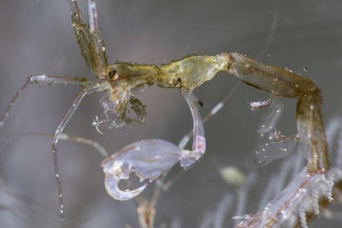 Captain hook - close up on the skeleton shrimp with details
