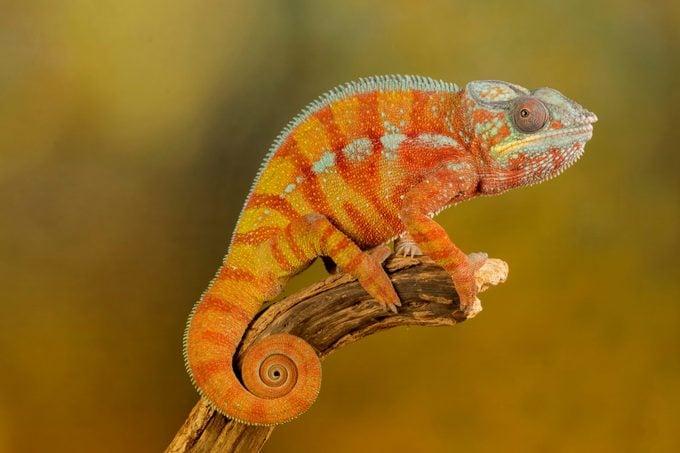 Chameleon red and orange on a studio background