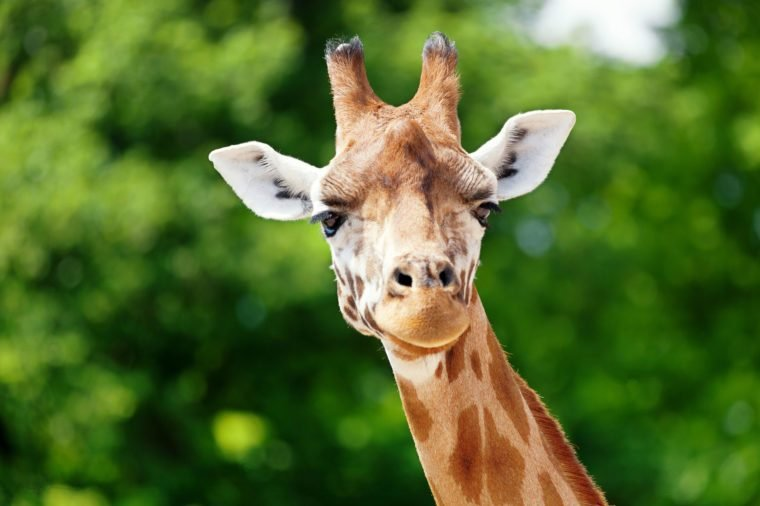 Close-up of a cute giraffe in front of some green trees, looking at the camera as if to say You looking at me? With space for text.