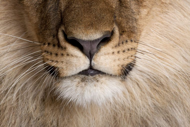 Close-up of lion's nose and whiskers, Panthera leo, 9 months old