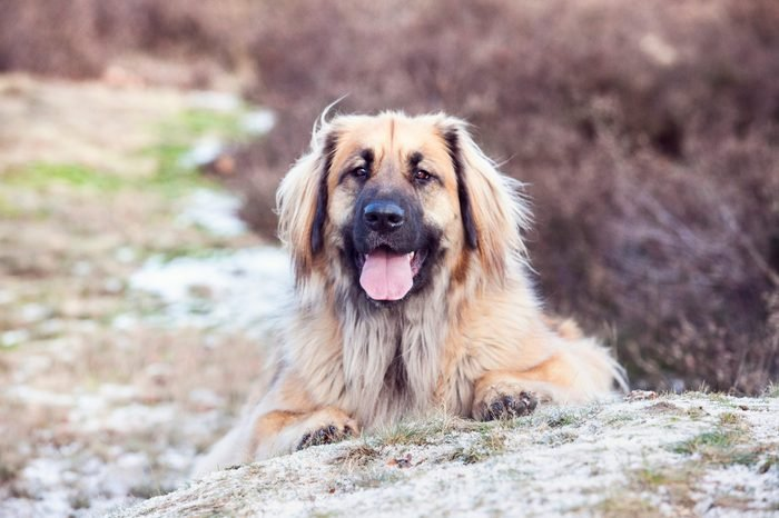 Close-up portrait from a leonberger in the heaths.