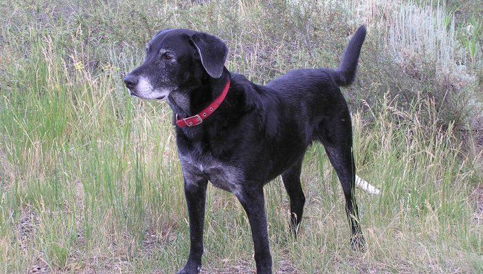 retired service dog