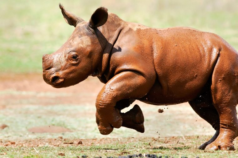 Cute baby white rhino covered in mud running across an open field