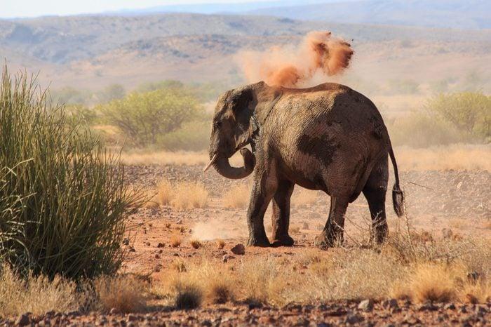 Desert elephant taking a dust bath (Namibia/Africa)