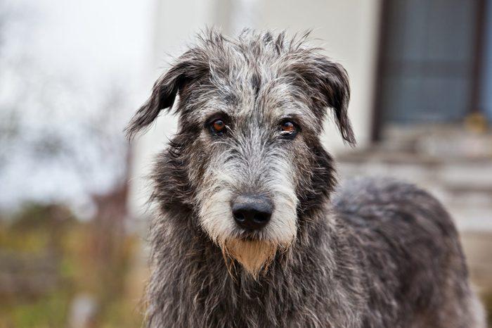Dog breed irish wolfhound portrait on nature
