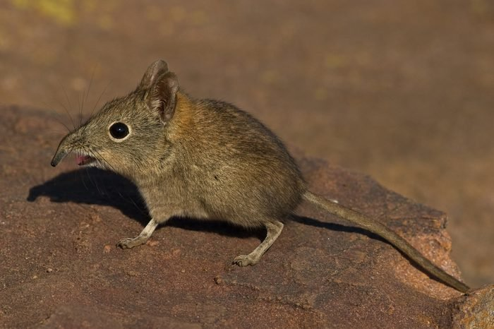 Elephant Shrew on rock with open mouth and bent snout