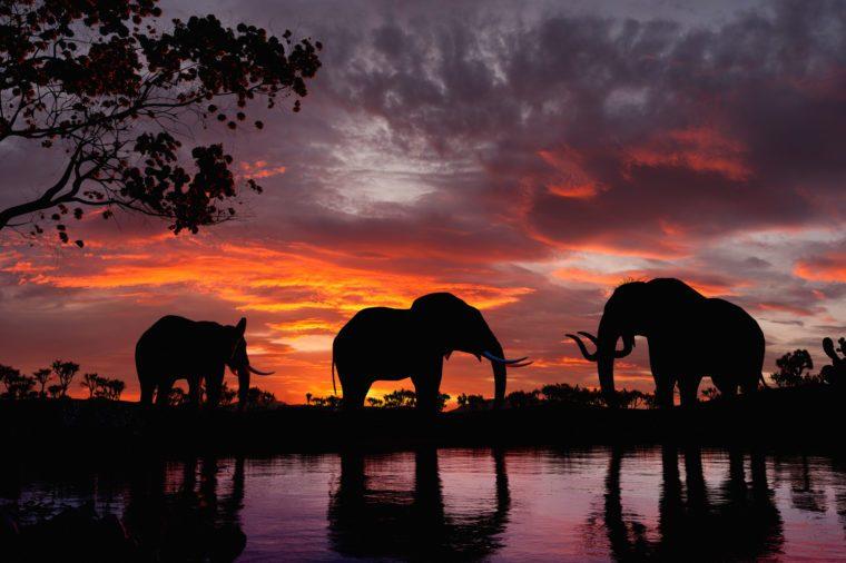 Elephants at sunset. Elephants walking by the lake.