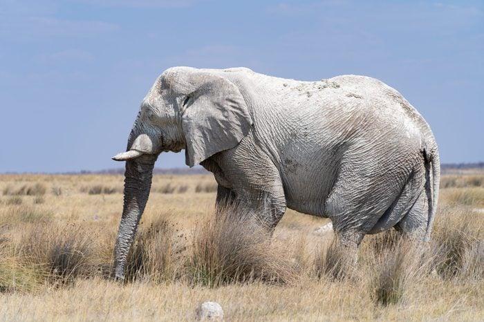 Ghost/grey elephant, Namibia