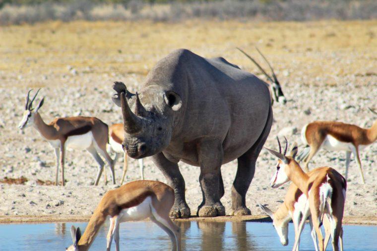 Impalas and rhino on watering hole, Etosha national park, Namibia
