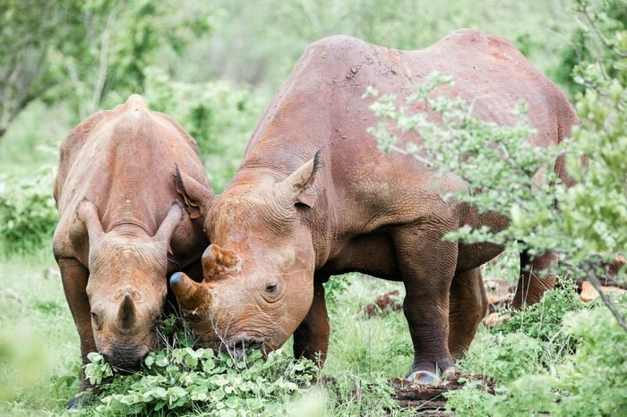 Mother and baby Rhino calf grazing in green grass vegetation. Victoria Falls, Zimbabwe