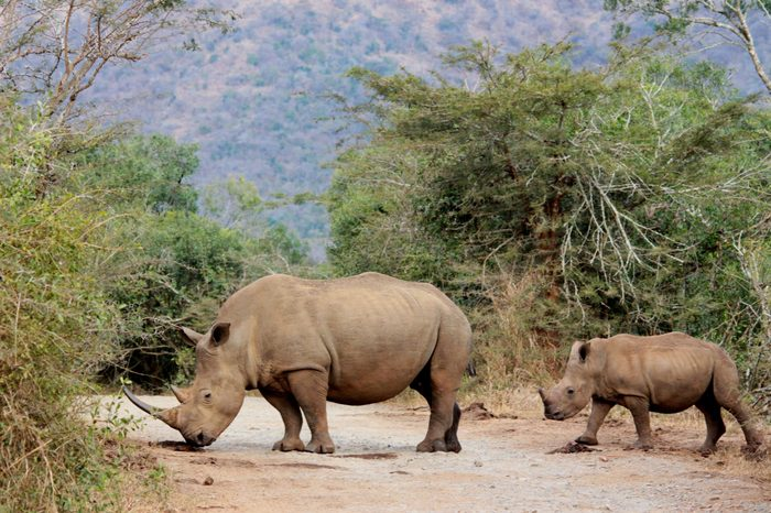 Mother and infant white rhineceros in South Africa.