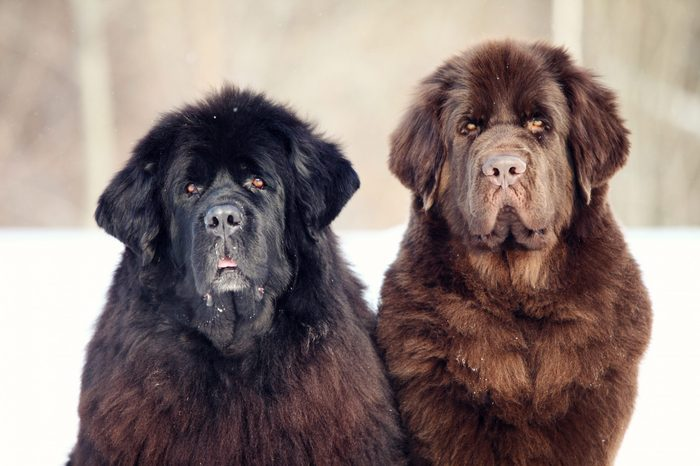 Newfoundland dog sitting and looking at the camera in winter