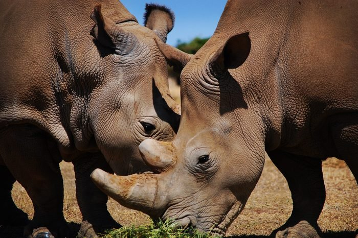 Northern White Rhino with Southern White Rhino, Kenya