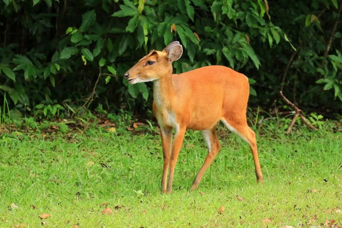 One young Muntjac in the jungle. Muntjac known as barking deer and Mastreani deer, are small deer of the genus Muntjacs.