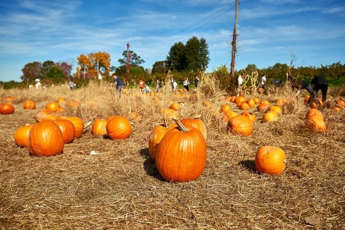 Pile of orange pumpkins sit in field ready for pickup. Families are picking pumpkins on a farm. Autumn colors