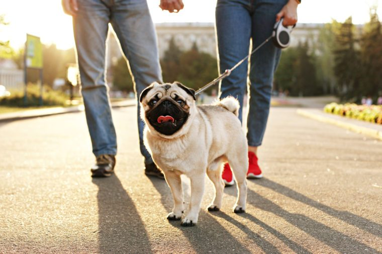 Funny puppy of pug sitting on floor near couple owners feet on concrete walkway at park. Female & male walking young pure breed pedigree dog on leash, sunset light. Background, copy space, close up.