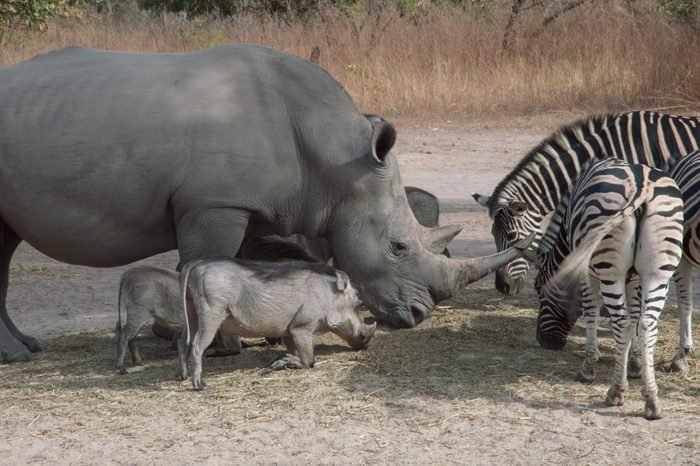 Rare white rhino, zebra's and swine's spotted on a Safari in Senegal. They are eating together.