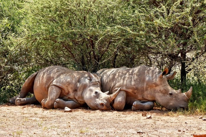 Rhino pair lazing in the shade of some bushes