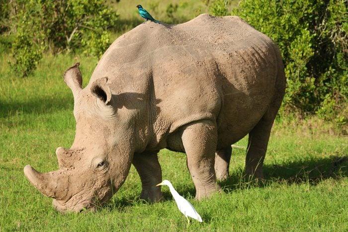 Rhino with birds Kenya African wildlife endangered specie