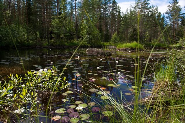 Small lake in the forest with reflection and wild water lily, Norway