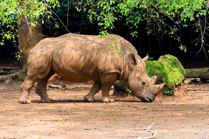 Sumatran rhinoceros at safari