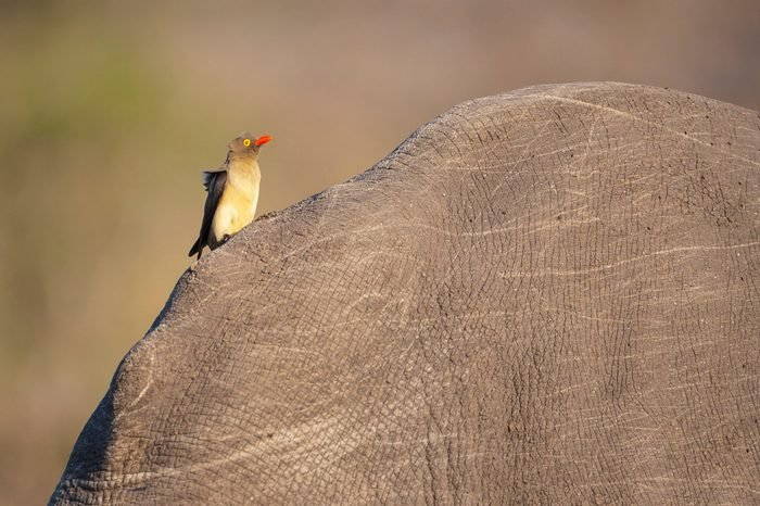 The red billed oxpecker is a passerine bird in the starling family, Sturnidae; some ornithologists regard the oxpeckers to be in a family by themselves, the Buphagidae. They eat bits on rhino and oxen