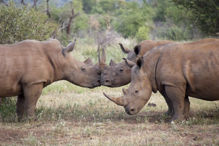 Three rhinos, two of them are kissing, South Africa