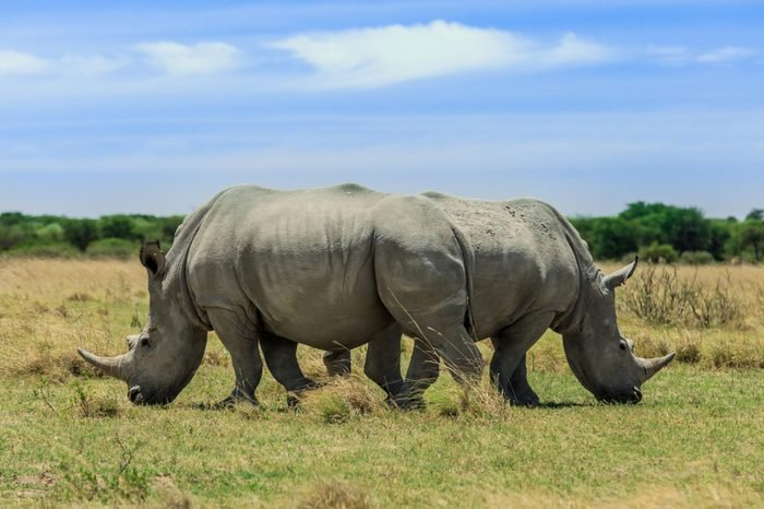 Two Big White Rhiroceros, Rhino Family walking together and eating grass, two rhinos in one photo, Botswana