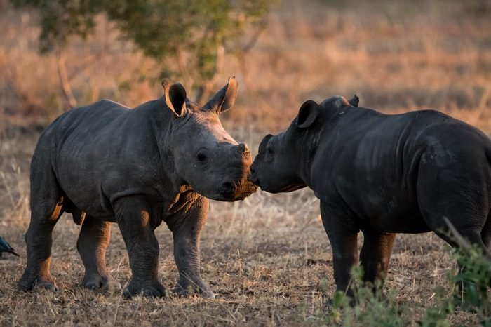 Two baby Rhinos meet for the first time in the great African wilderness in the golden afternoon light