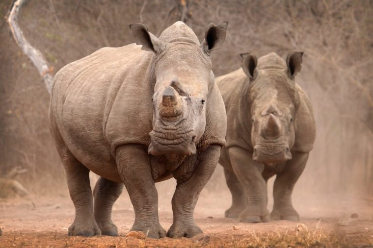 White Rhino Bulls in dust