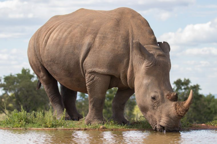 White rhino( Ceratotherium Simum) drinking at the water, Welgevonden Game Reserve, South Africa.