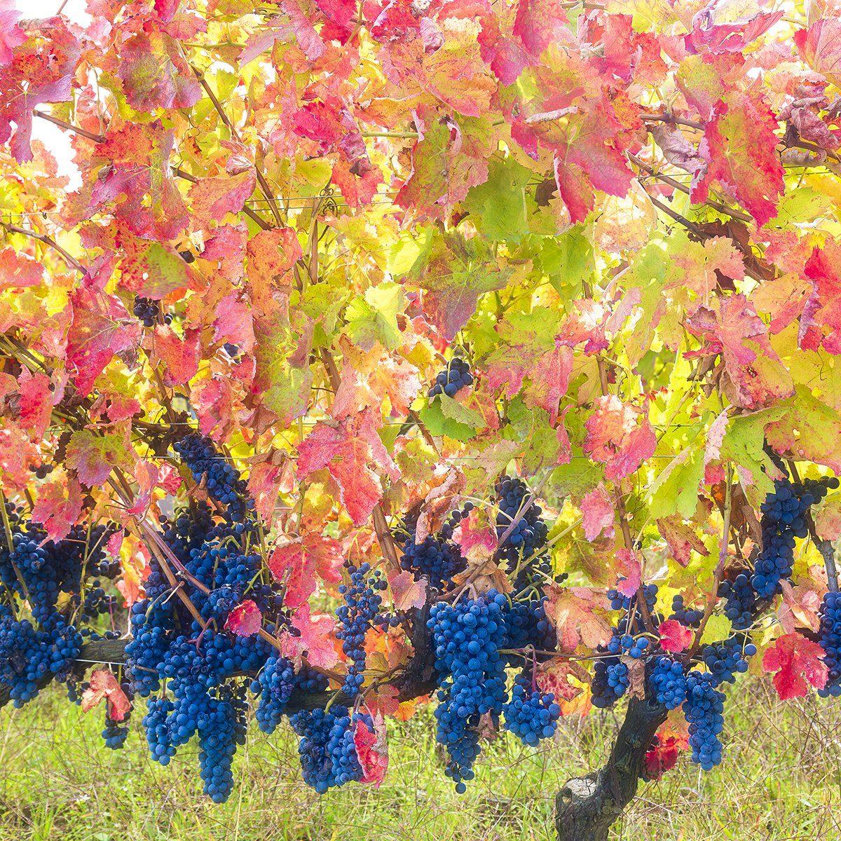 Aglianico del Vulture grapes mature late autumn giving warm fantastic colors