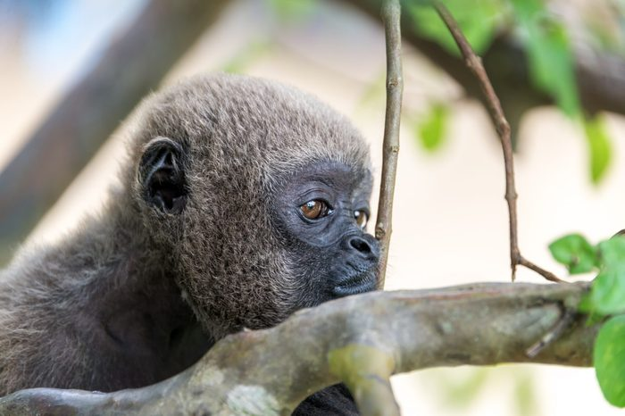 Closeup view of the face of a woolly monkey in the Amazon near Iquitos, Peru