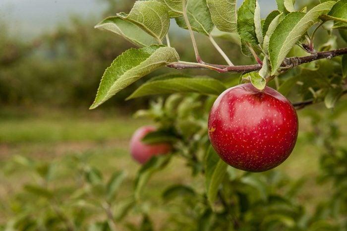 Crisp red apple on a branch