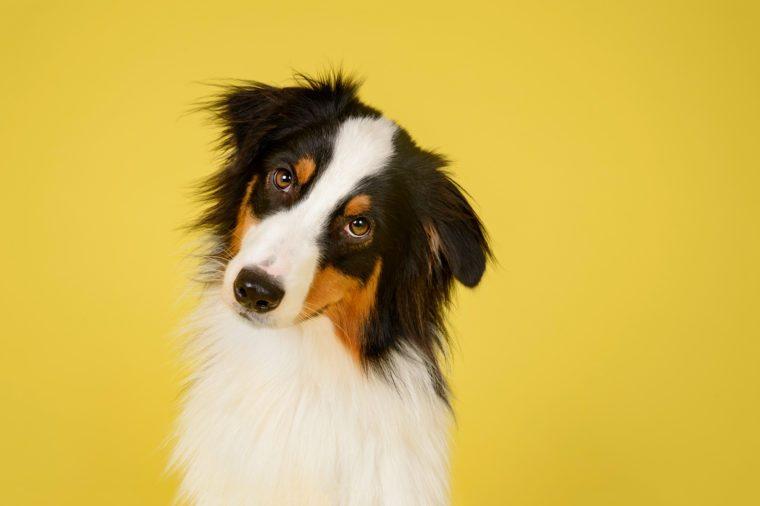 Australian Shepherd Dog in Studio on Yellow Background