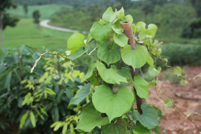 plantpelos pareira in the cassava farm.Thai Herbs.