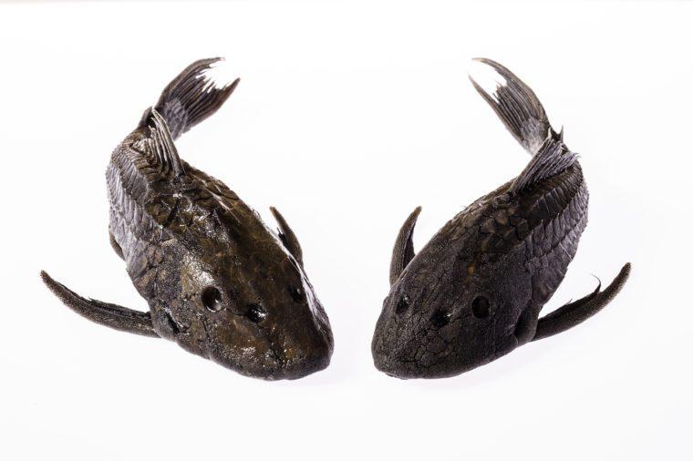 """Carachama"", Pseudorinelepis genibarbis, fish from the peruvian amazon forest"