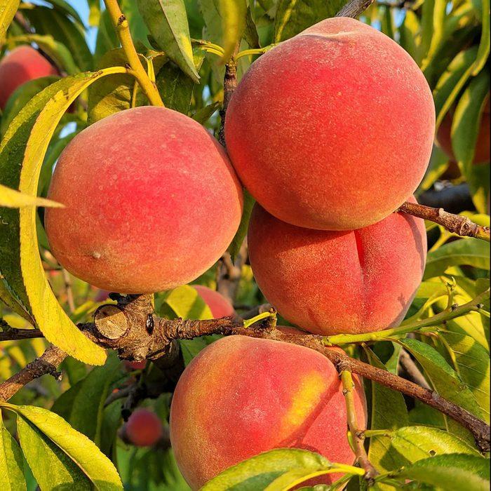 Cardon Crest Peaches