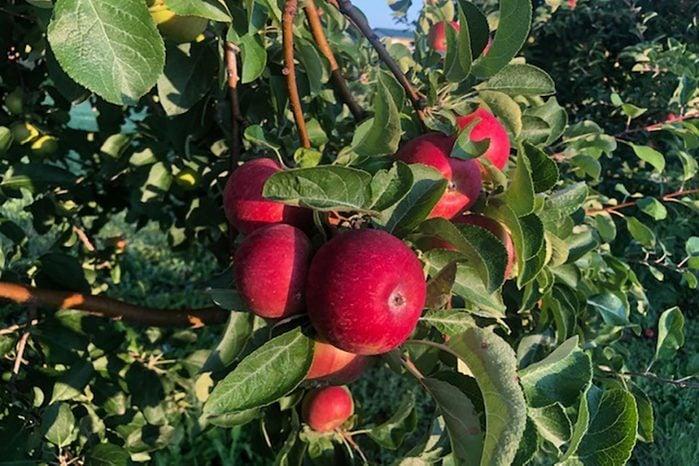 CherryHawk Farm Apple Orchard, Marysville