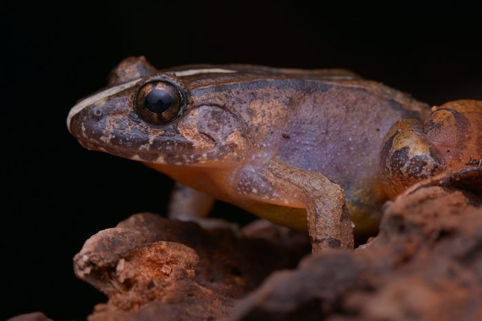 close up image of a Smooth Guardian Frog from Borneo