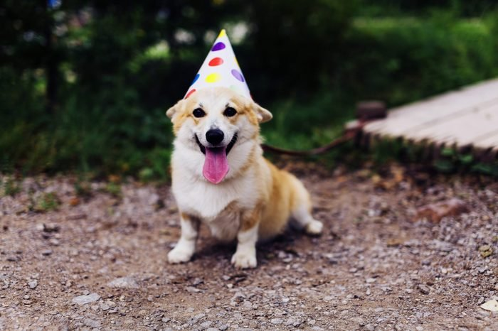 Smiling corgi dog in a fancy cap, partying