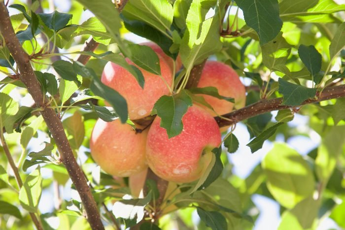 Country Line Orchard