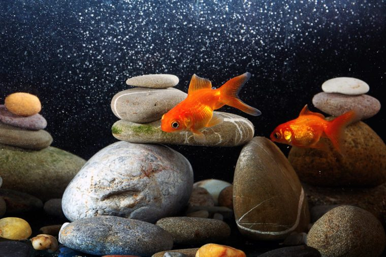 couple goldfish in aquarium over well-arranged zen stone and nice bokeh of bubbles