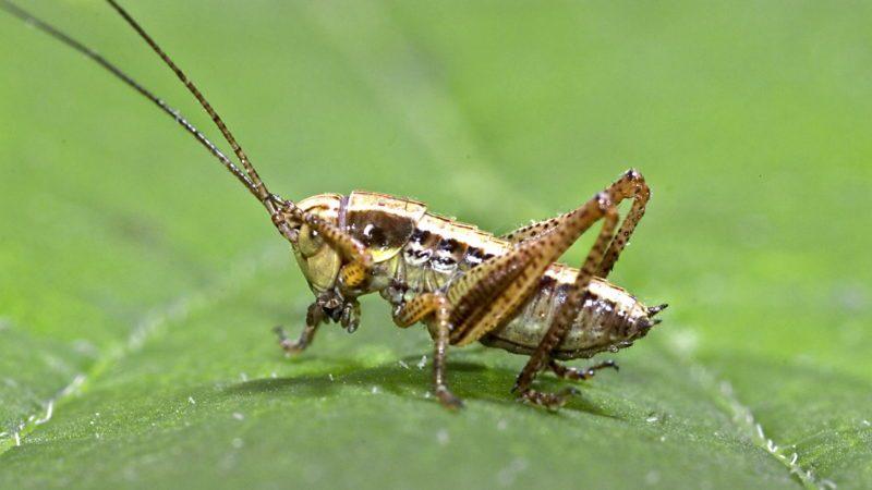 Roesel's bush-cricket (Metrioptera roeseli)