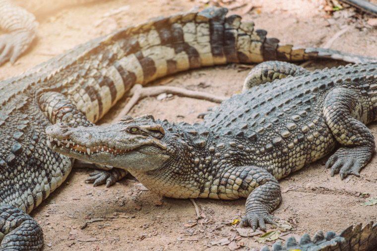 Crocodiles In A Crocodiles Farm ,Thailand