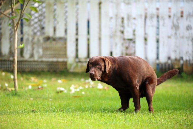 Labrador Retriever poop, Dog in the park, Dog shit