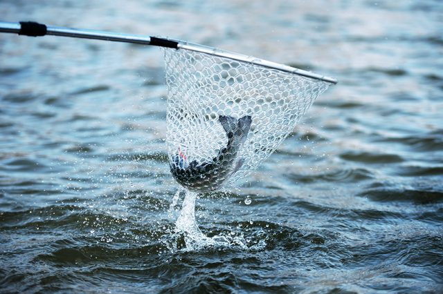 Fishing. Trout is caught in fishing net. Dramatic.