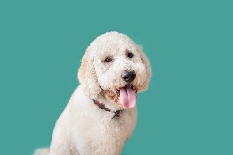 Golden Doodle Dog on Isolated Colored Background