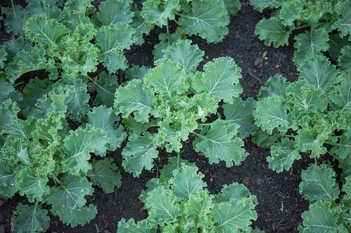 fresh kale in garden